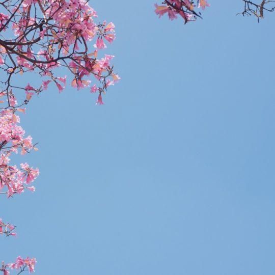 Flor natural, azul, rosa Fondo de Pantalla SmartPhone para Android