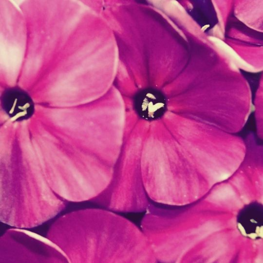 Flor natural púrpura Fondo de Pantalla SmartPhone para Android