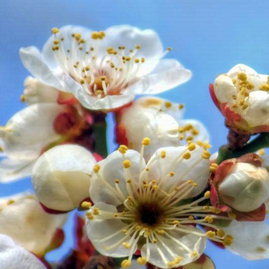 blanco natural de la flor Fondo de Pantalla SmartPhone para Android