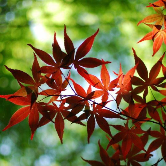 hojas de otoño rojo naturales Fondo de Pantalla SmartPhone para Android