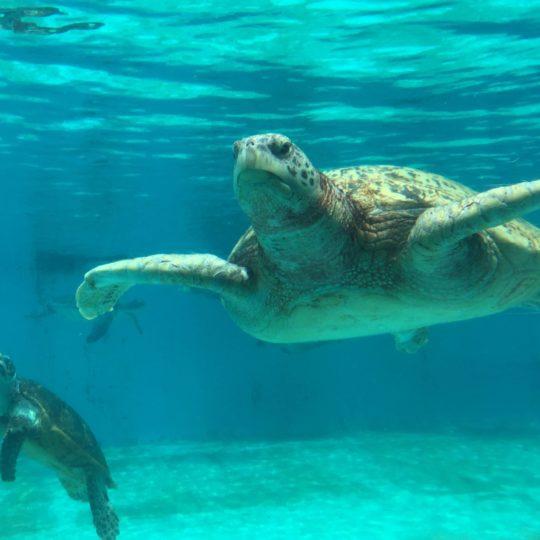 azul tortuga marina Animal Fondo de Pantalla SmartPhone para Android