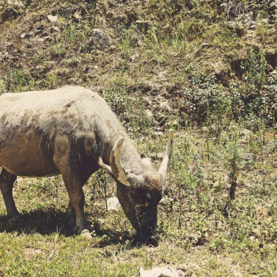 Animal de cabra hierba verde Fondo de Pantalla SmartPhone para Android