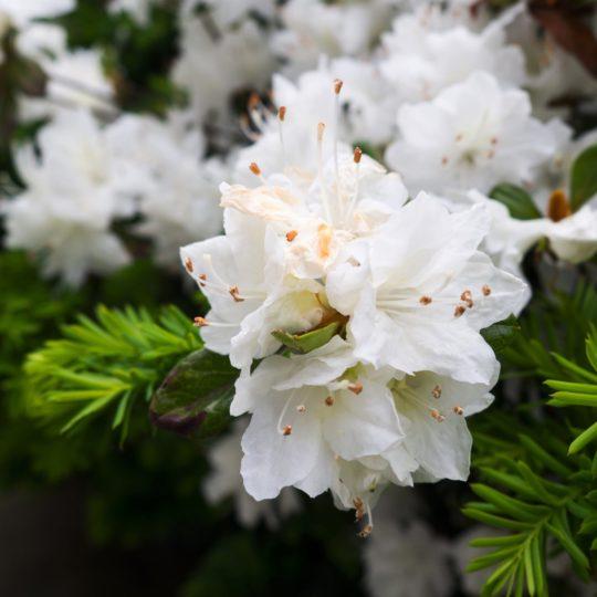 flores blancas Fondo de Pantalla SmartPhone para Android