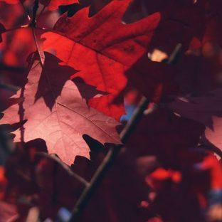 hojas de otoño rojo naturales Fondo de Pantalla de Apple Watch