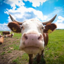 animales de la Vaca iPad / Air / mini / Pro Wallpaper