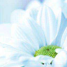 Blanco naturales de la Flor iPad / Air / mini / Pro Wallpaper
