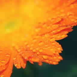flor de naranja natural iPad / Air / mini / Pro Wallpaper