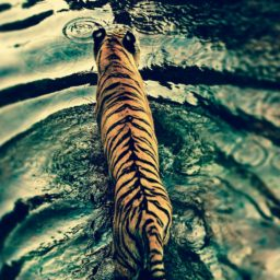 tigre Animal iPad / Air / mini / Pro Wallpaper