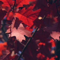 hojas de otoño rojos naturales iPad / Air / mini / Pro Wallpaper