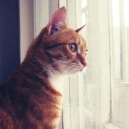 cortina de gato iPad / Air / mini / Pro Wallpaper