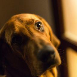 marrón del perro de animal iPad / Air / mini / Pro Wallpaper