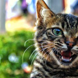 animales gato Kijitora iPad / Air / mini / Pro Wallpaper