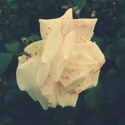 Planta flores blanco iPad / Air / mini / Pro Wallpaper