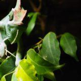 camaleón verde animal negro