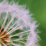 pelusa planta