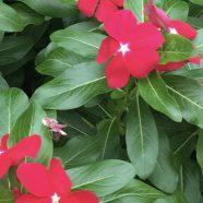 Flor rosa Fondo de Pantalla de iPhone8