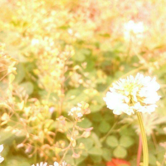 Bunga semanggi putih Android SmartPhone Wallpaper