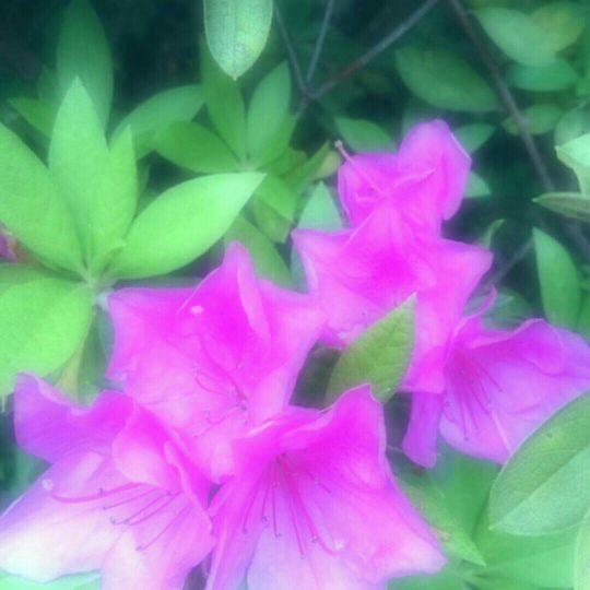Bunga Azalea Android SmartPhone Wallpaper