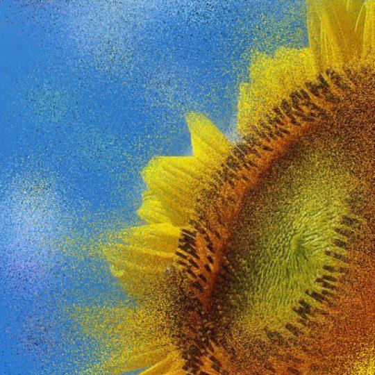 Bunga matahari bunga matahari Android SmartPhone Wallpaper