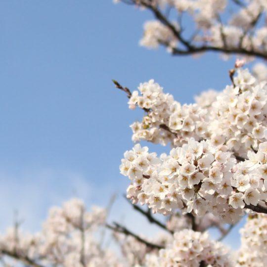 bunga alami Android SmartPhone Wallpaper