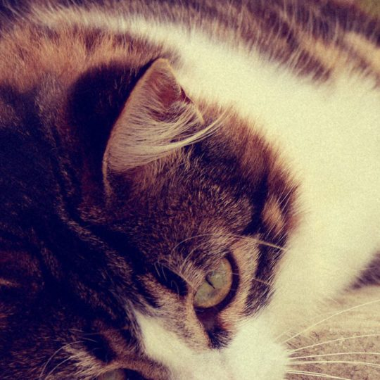 kucing kitten Android SmartPhone Wallpaper