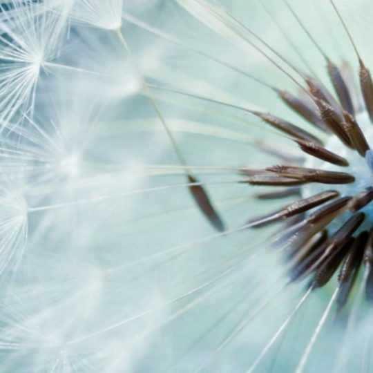Dandelion biru alami Android SmartPhone Wallpaper