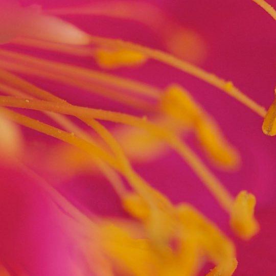 bunga merah Blur Android SmartPhone Wallpaper