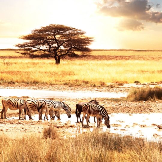 pemandangan Savannah Android SmartPhone Wallpaper