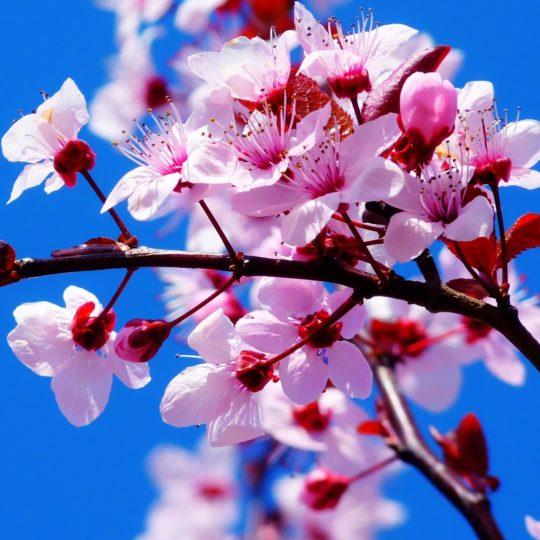 bunga merah muda alami Android SmartPhone Wallpaper