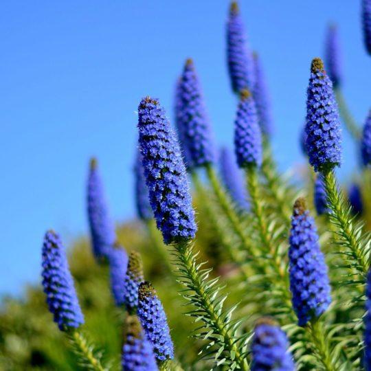 biru bunga alami Android SmartPhone Wallpaper