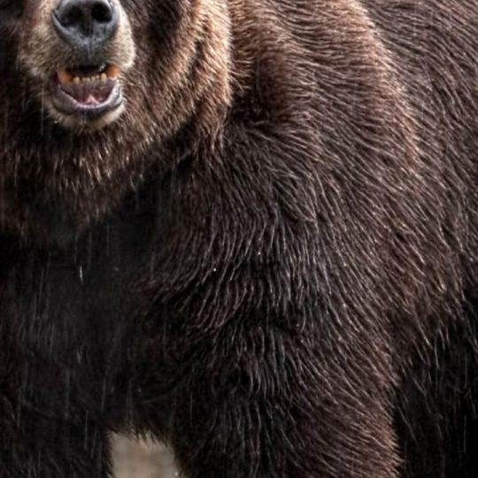 beruang hewan Android SmartPhone Wallpaper