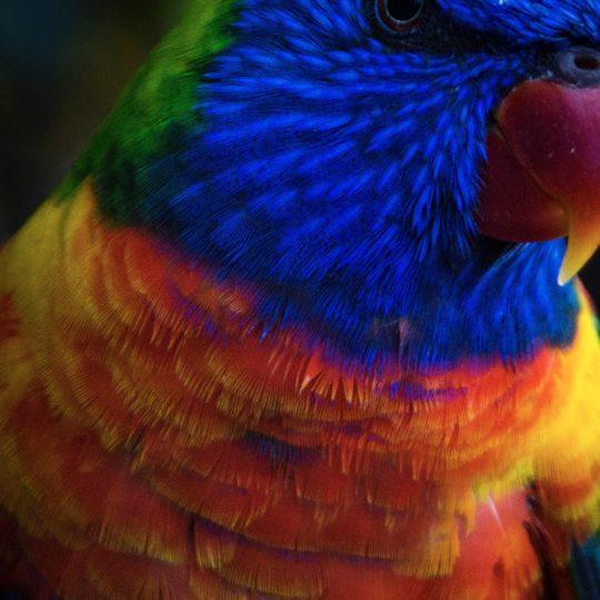Burung hewan biru warna-warni Android SmartPhone Wallpaper