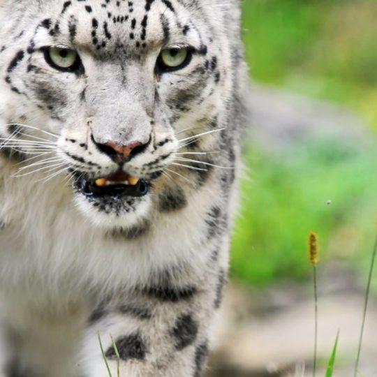 leopard hewan Android SmartPhone Wallpaper