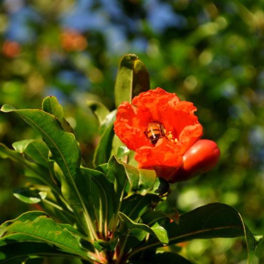 bunga alam hijau merah Android SmartPhone Wallpaper
