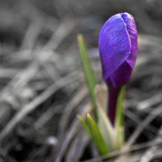bunga alami ungu Android SmartPhone Wallpaper
