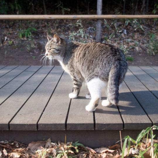 kucing hewan Android SmartPhone Wallpaper