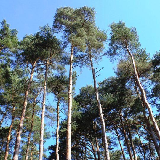 pemandangan Langit tree hutan Android SmartPhone Wallpaper
