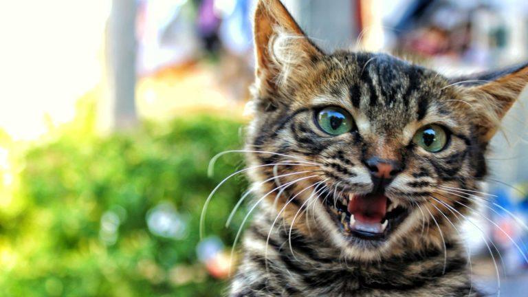 Hewan kucing Kijitora Desktop PC / Mac Wallpaper