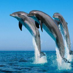 lumba-lumba hewan iPad / Air / mini / Pro Wallpaper