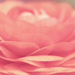 bunga merah muda alami iPad / Air / mini / Pro Wallpaper