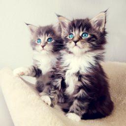kucing kitten iPad / Air / mini / Pro Wallpaper