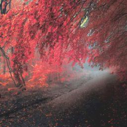 pemandangan musim gugur daun merah iPad / Air / mini / Pro Wallpaper