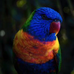 Burung hewan biru warna-warni iPad / Air / mini / Pro Wallpaper