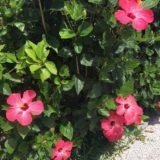 Tanaman bunga kembang sepatu hijau merah