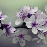 tanaman bunga putih ungu
