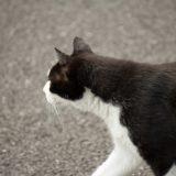 kucing hitam-putih