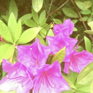 Bunga Azalea iPhone5s / iPhone5c / iPhone5 Wallpaper