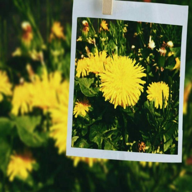 Foto dandelion iPhone7 Plus Wallpaper