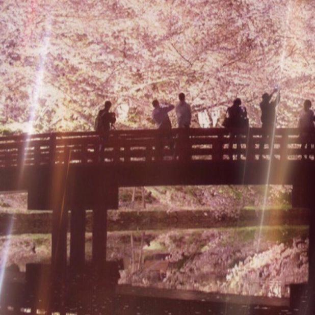 pohon ceri iPhone7 Plus Wallpaper