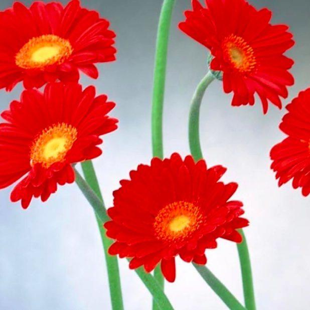 merah bunga alami iPhone7 Plus Wallpaper